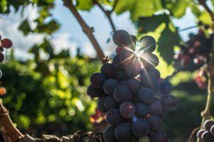 variedades uva penedes